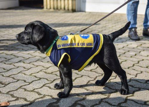 Cucciolo nero di labrador cane guida