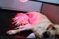 cuccioli hoara in allattamento