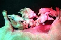 cucciolotti hoara